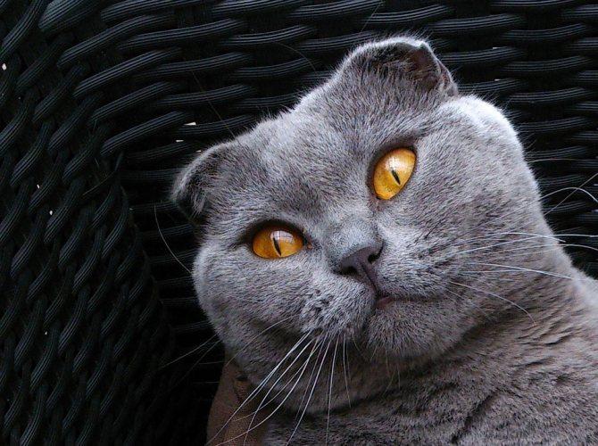 Шотландская вислоухая кошка: описание, характер, уход