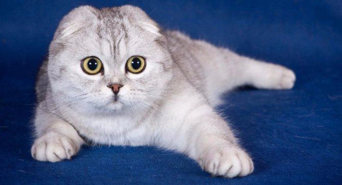 Шотландские короткоухие кошки