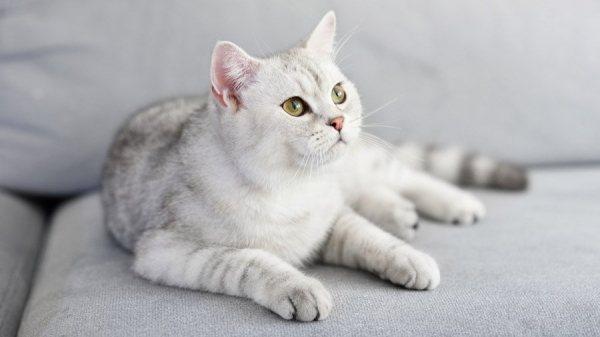 Шотландских кошек очень легко избаловать и сложно перевоспитать