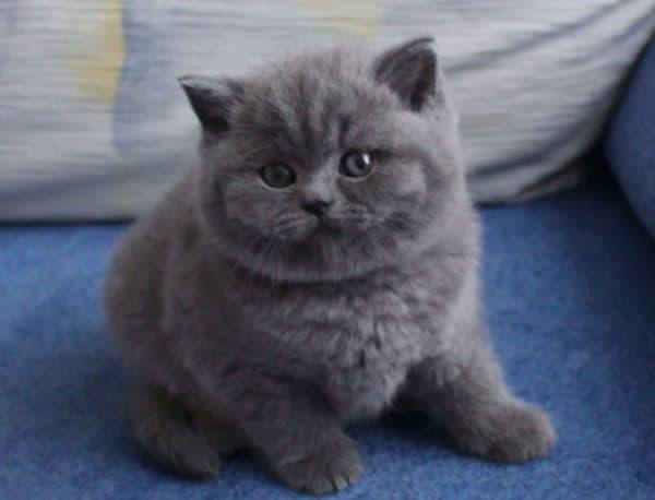 Шотландский милый котенок