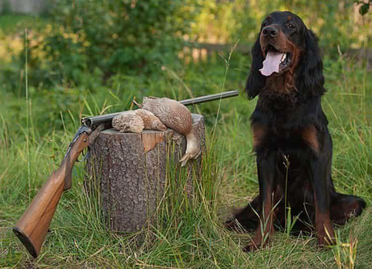 Шотландский сеттер - это прежде всего охотник.