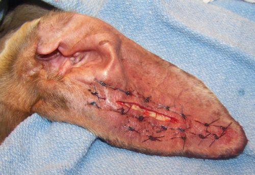 швы при удалении отогематомы уха у собак