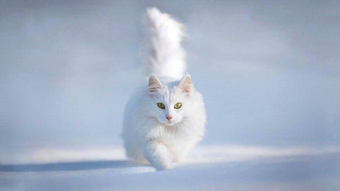 сибирская кошка белого окраса