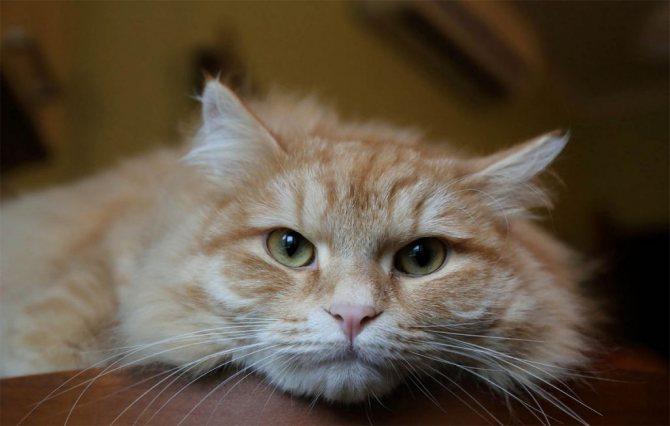 Сибирская кошка рыжая.jpg