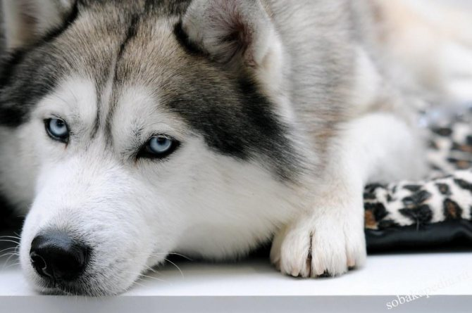 Сибирский хаски: характер, описание, фото, щенки, цены