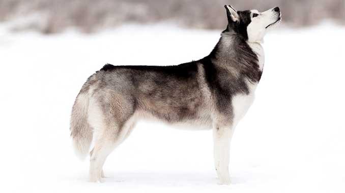 Сибирский Хаски описание породы