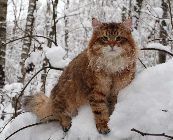 Сибирский кот на выгуле