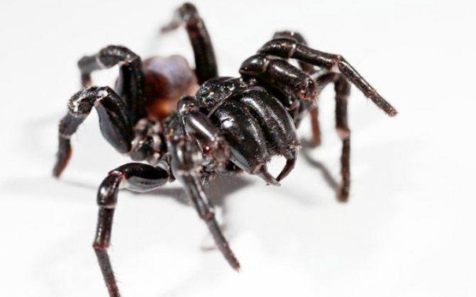 Сиднейский воронковый паук (Atrax robustus) Сиднейские пауки настоящие гиганты среди остальных пауков мира. В то время, как большинство паукообразных избегает людей, то воронковый паук агрессивен и всегда готов к бою. Его острые хелицеры могут прокусить даже кожаную обувь или ноготь и вколоть вам приличную дозу яда. Мощный нейротоксин вызывает мышечные спазмы, спутанность сознания и отек головного мозга. К счастью, после изобретения антидота в 1981 году, смертельных случаев не зафиксировано.