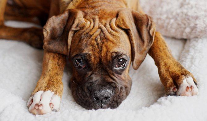 симптомы гингивита у собак