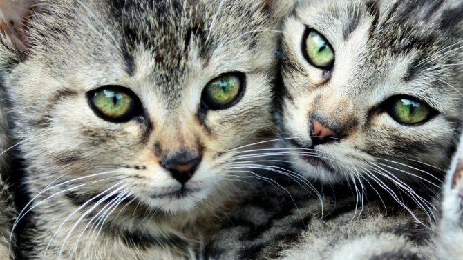 Симптомы и лечение СПИДа у кошек