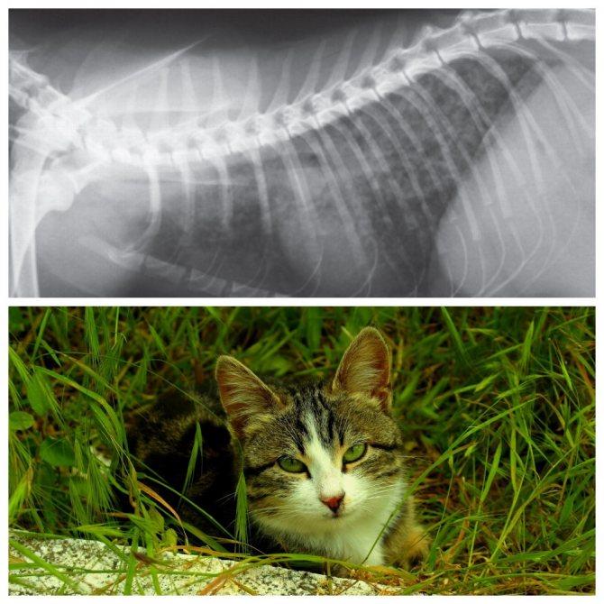 Симптомы и лечение туберкулеза у кошек