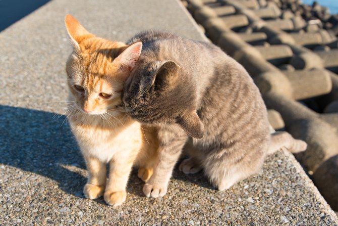 симптомы лептоспироза у кошек