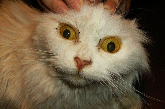 Симптомы лептоспироза у котов