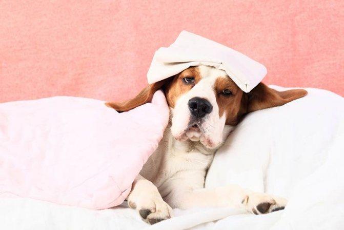 симптомы отклонения от нормы температуры у собак