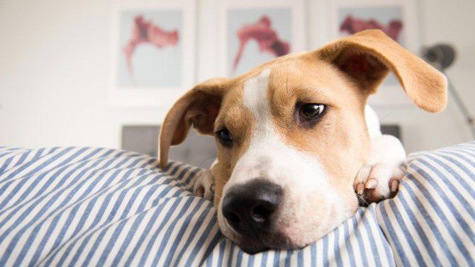Симптомы появление у собаки глистов