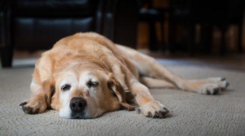 симптомы при дипилидиозе собаки