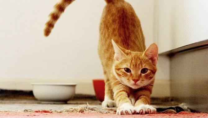 Симптомы течки у кошек