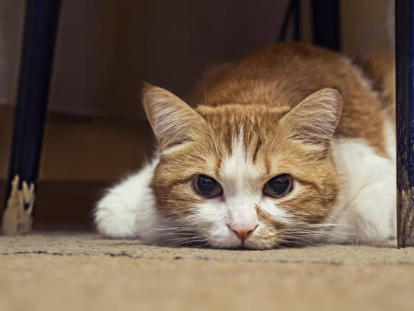 симптомы того что у кошки отнимаются лапы