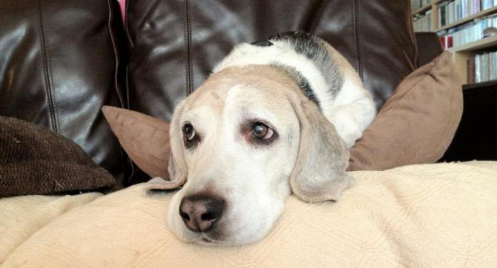 синдром кушинга у собак симптомы