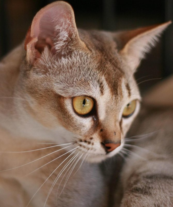 Сингапурская кошка или сингапура