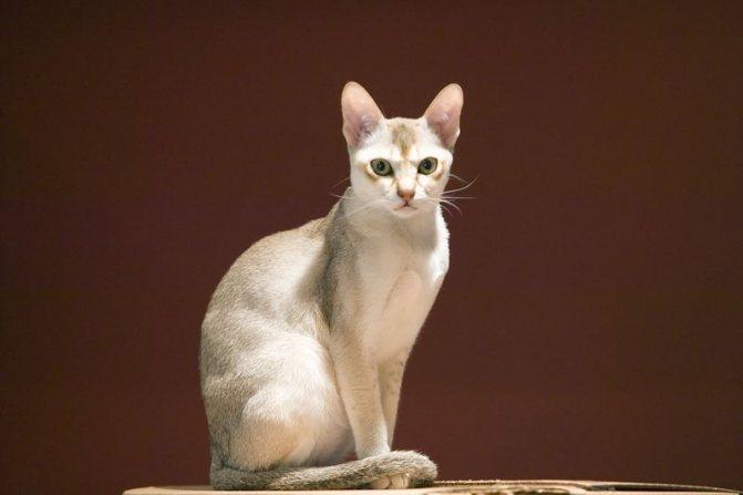Сингапурская кошка - описание породы от А до Я 120 фото. Полное описание внешности и характера сингапурской кошки