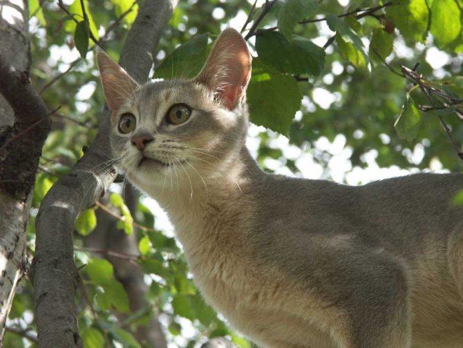 Сингапурская порода кошек