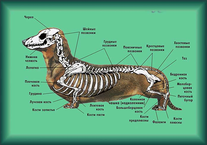 Скелет таксы: здоровье и силу мышц спины необходимо поддерживать с первого дня в доме