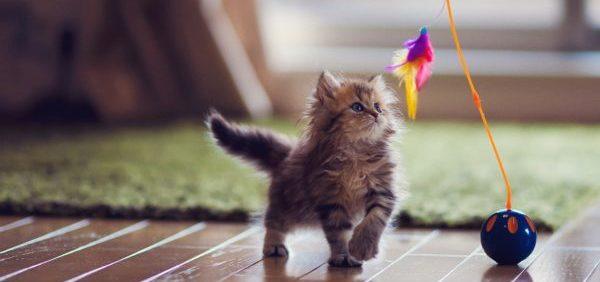 Склонность кошек к подчинению командам определяется в процессе игры