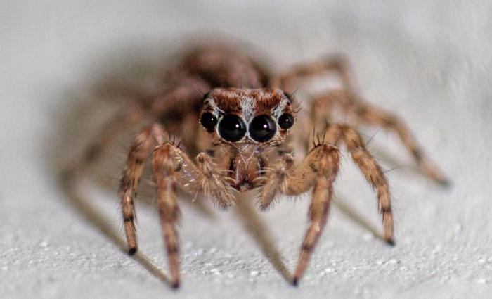 сколько глас у большинства видов пауков