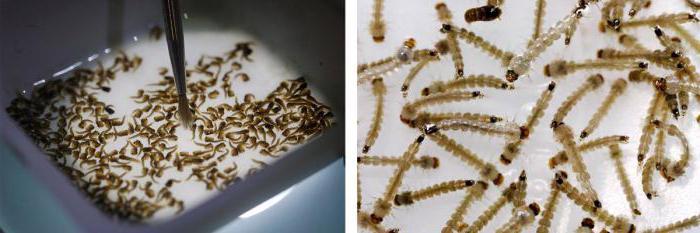 сколько конечностей у комара пискуна