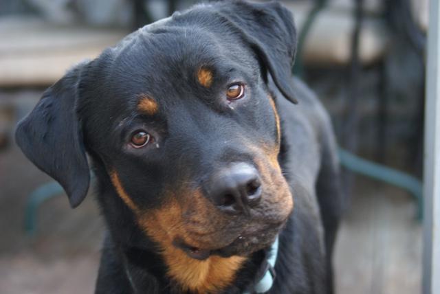 сколько лет живут собаки ротвейлеры