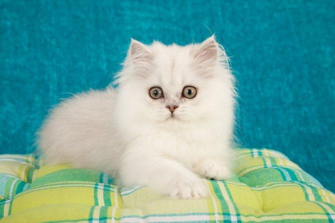 Сколько сосков должно быть у кошек