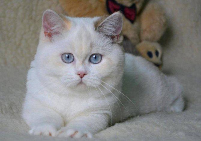 Сколько стоит британский котенок с документами?