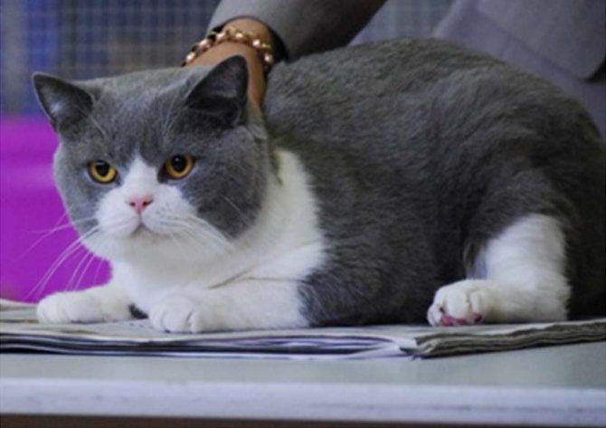 Сколько стоит котенок британской кошки?