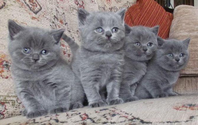 Сколько стоит котенок британской породы?
