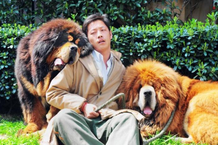 сколько стоит тибетский мастиф в россии