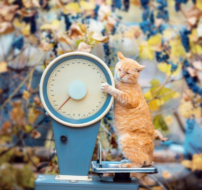 Сколько весит кошка - норма веса и от чего зависит