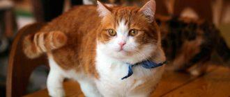 Сколько весит взрослая кошка