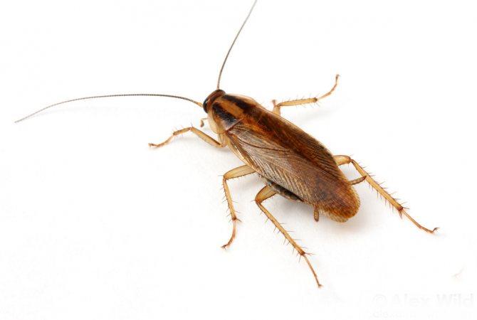 сколько живет таракан прусак