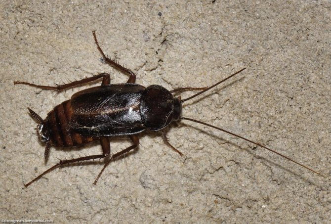сколько живут американские тараканы