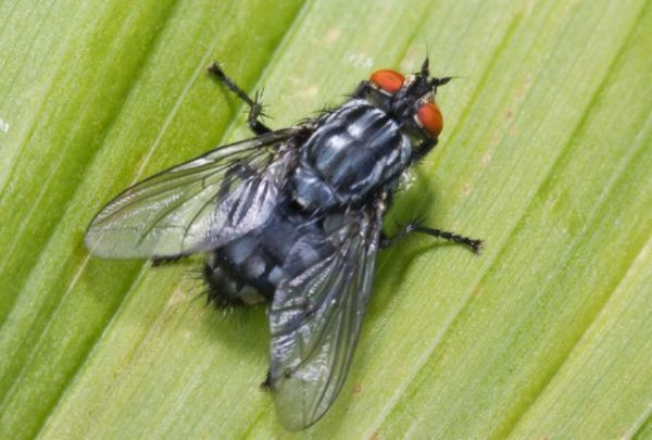 Сколько живут комнатные мухи в условиях обыкновенной квартиры. Сколько живет муха обыкновенная в природе и домашних условиях