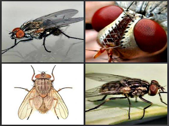Сколько живут мухи, жизненный цикл мух