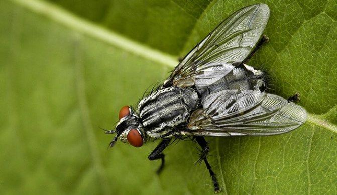 Сколько живут мухи