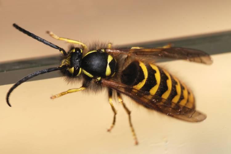 Сколько живут пчелы и осы