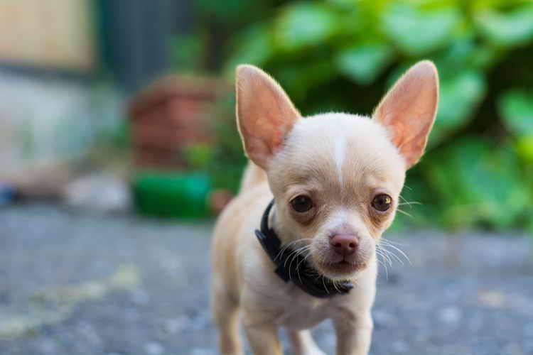 сколько живут собаки породы чихуахуа
