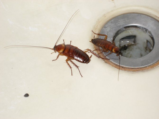 сколько живут тараканы без еды и воды