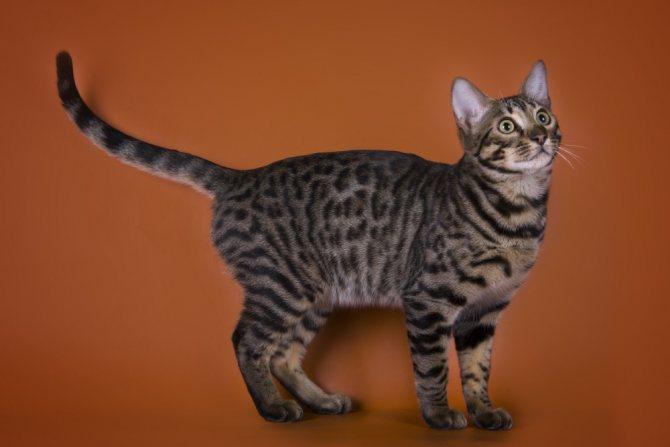 Сколько жизней у кошки 9 или 7