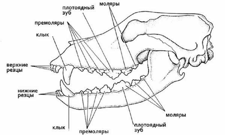 сколько зубов у собак взрослых