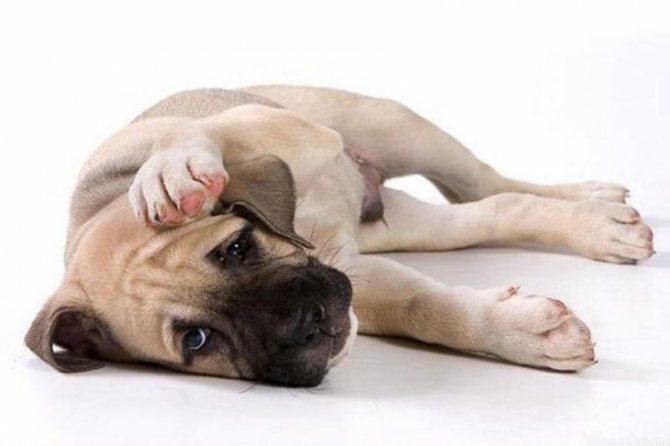Слабая собака