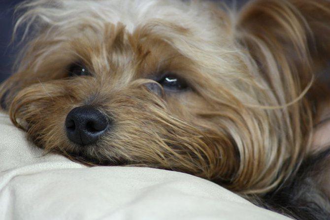 Слабость при диарее у собаки